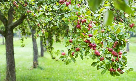 Apple-Tree-Orchard-at-Cid-001
