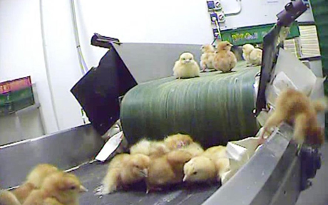 Conveyor belts of male chicks on their way to the gas chamber or a giant shredding machine