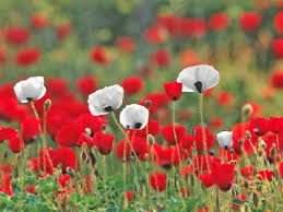 redwhitepoppies